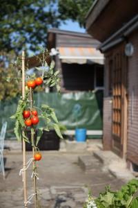 plant_de_tomate
